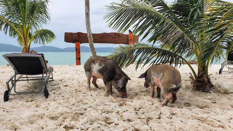 在 Koh Mat Sum 島上的豬隻