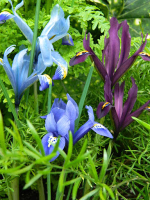 Iris reticulata Blue Purple  Reticulated Iris at the Allan Gardens Conservatory 2016 Spring Flower Show by Paul Jung Gardening Services