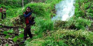 Lokasi ladang ganja yang di musnahkan ada di dusun Lhok Drien desa Sawang untuk mencapai lokasi tim gabungan harus berjalan kaki ke arah perbukitan selama setengah jam.