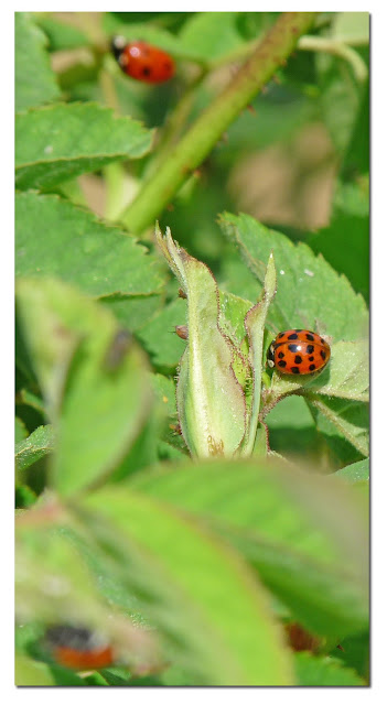 Ladybirds Invade Limpsfield: Wild And Wonderful: Ladybird Alert (10): All Kinds At