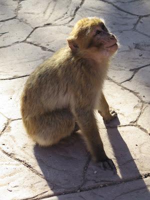 Mono en las Cascadas de Ouzoud
