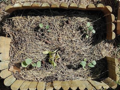 Quando coltivare i broccoli in un orto biologico