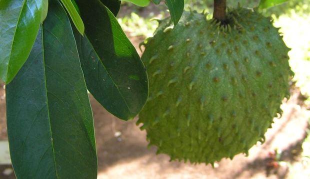 khasiat daun sirsak untuk paru-paru