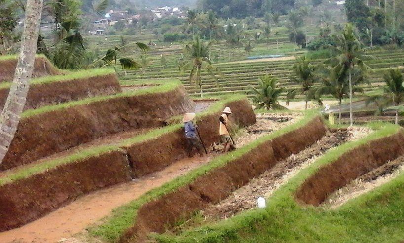 Jatiluwih Bali Rice-field Terraces - Jatiluwih, Penebel, Wanasari, Beraban, Tabanan, Northwest, Bali