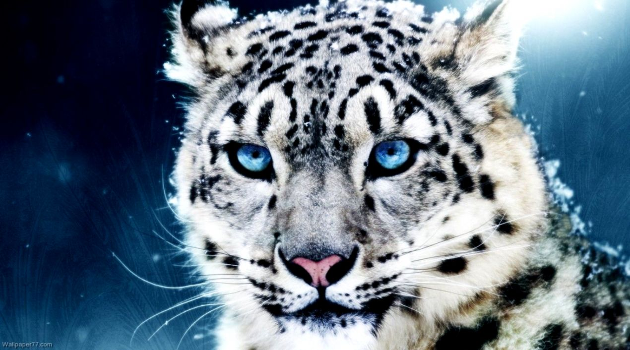 Cute Baby Snow Leopard Wallpaper Iphone Wallpapers Imgur