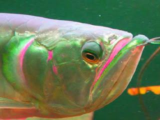 ikan-arwana-mata-juling.jpg