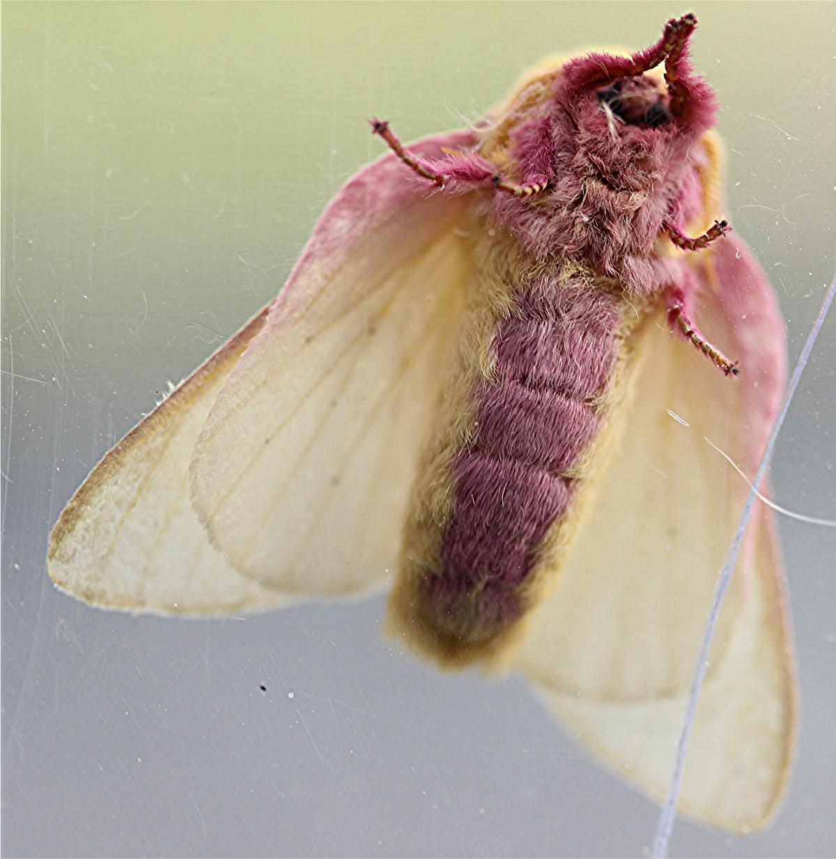 nature tales and camera trails: A Rosy Maple Moth for ... - photo#9