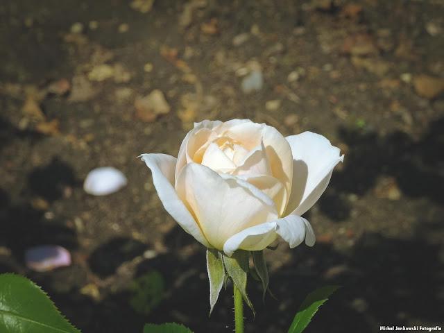 Róża w Parku Skaryszewskim