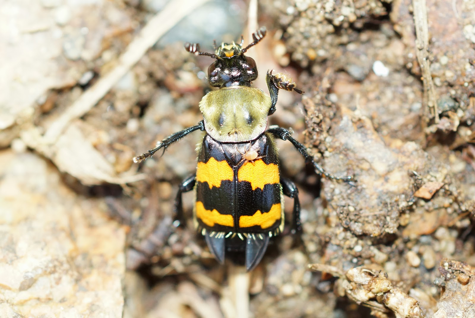Current Events On The Asian Beetle In Maine 25