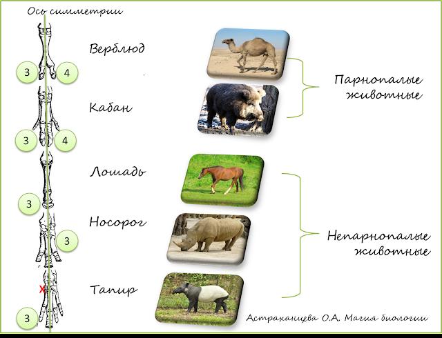 parnokopytnye-neparnokopytnye-loshad'-korova