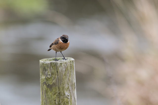 Male Stonechat on Post