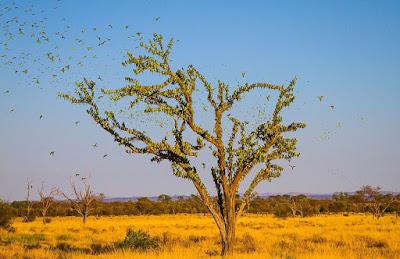 Торнадо из 80 тысяч волнистых попугайчиков