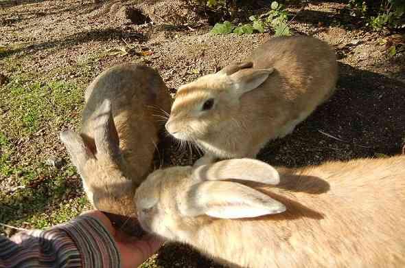 okunojima-rabbit-island-جزيرة-الارانب-اوكونوشيما