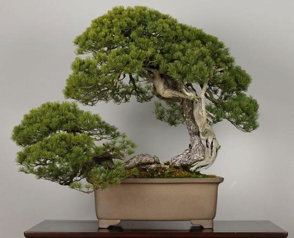 世界にある驚くべき植物、盆栽