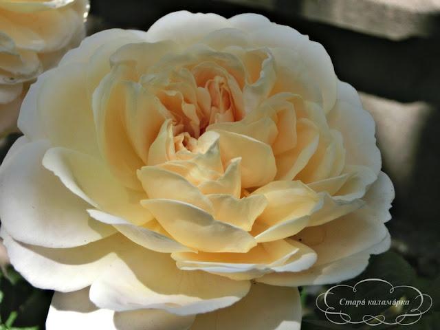 Crocus Rose Devid Austin, розы остинки, розы Дэвида Остина, розарии, сочетания роз
