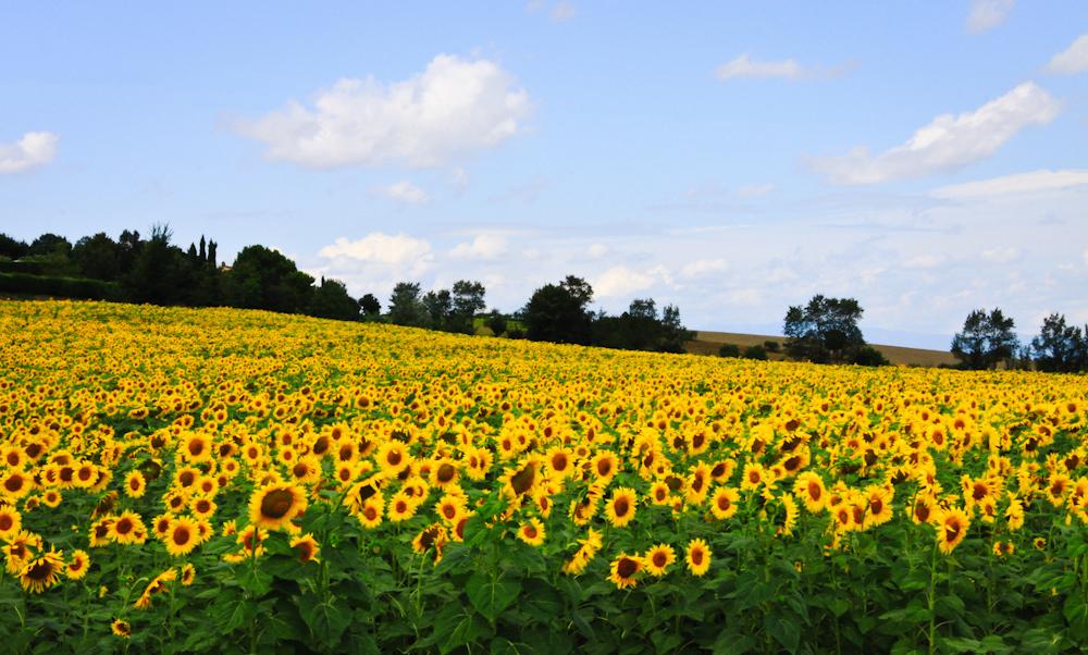 Hasil gambar untuk Taman Bunga Matahari italia