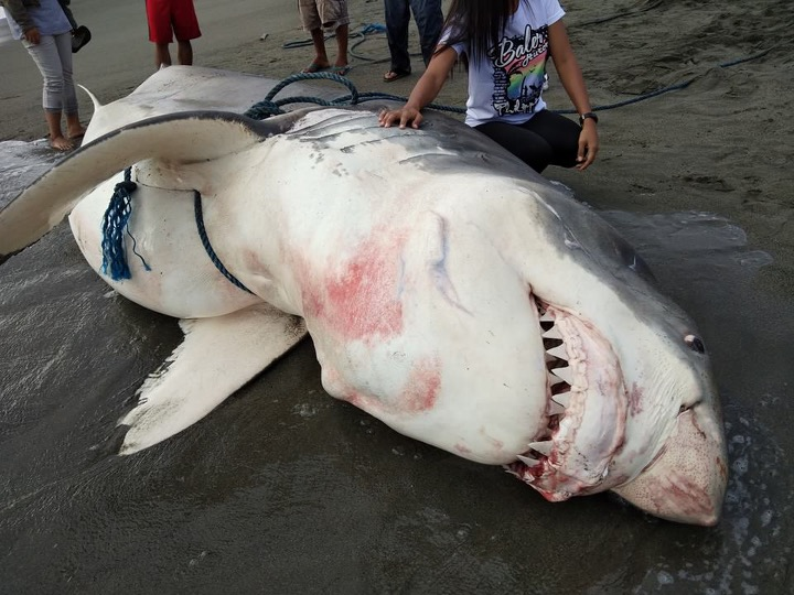 17-ft dead great white shark washes ashore in Aurora