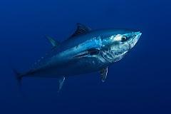 Manfaat Omega 3 pada Ikan Tuna