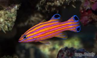 Ikan Basslets, Harganya bikin Geleng Kepala