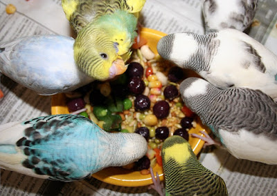 Parakeets enjoying vegetables