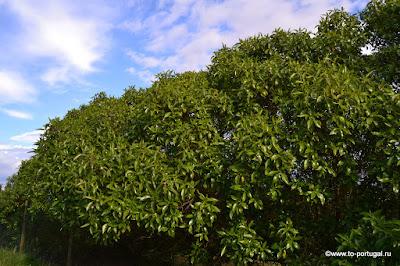какие деревья растут в Португалии