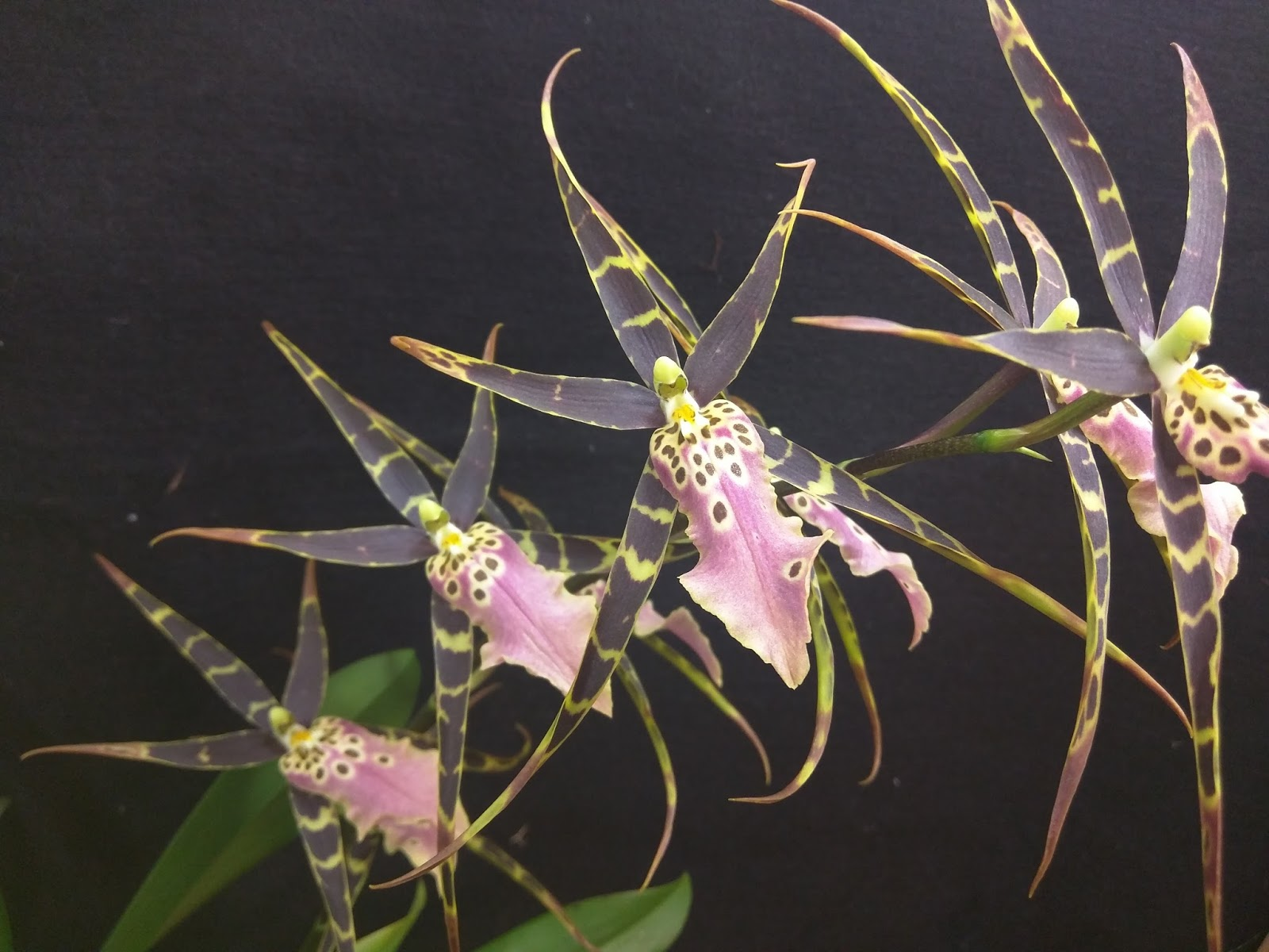 Kev S Orchids Bloom Event Bratonia Shelob Tolkien 2