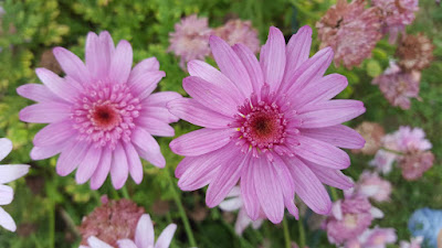 (Almost) Wordless Wednesday - pink flowers
