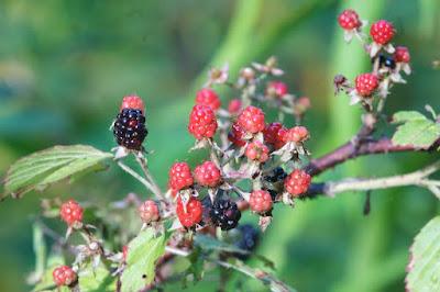 Wild Blackberry (Rubus sp.)