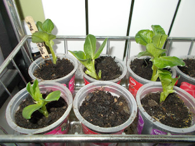 Broad bean seedlings Sowing seeds indoors 80 Minute Allotment Green Fingered Blog
