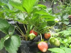 easy cultivation of strawberries in the pot