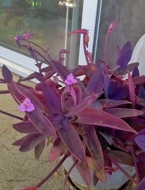 setcreasee pale violette plante grasse