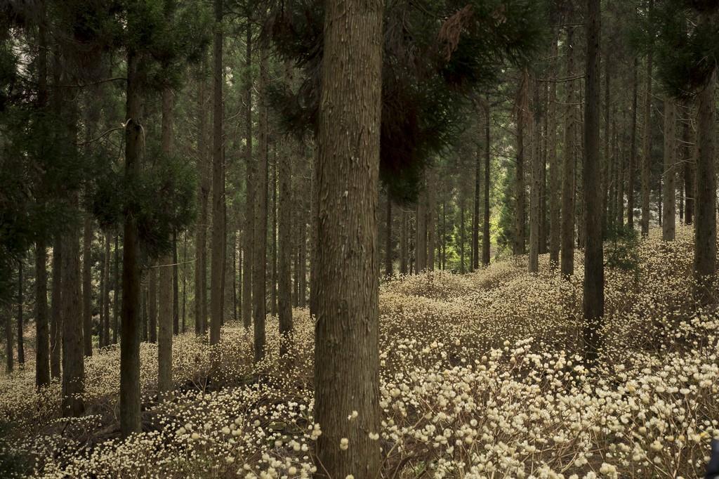 Bosque en Japón con Edgeworthia chrysantha