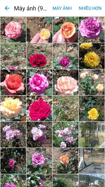hoa hồng công trình giá rẻ teraza