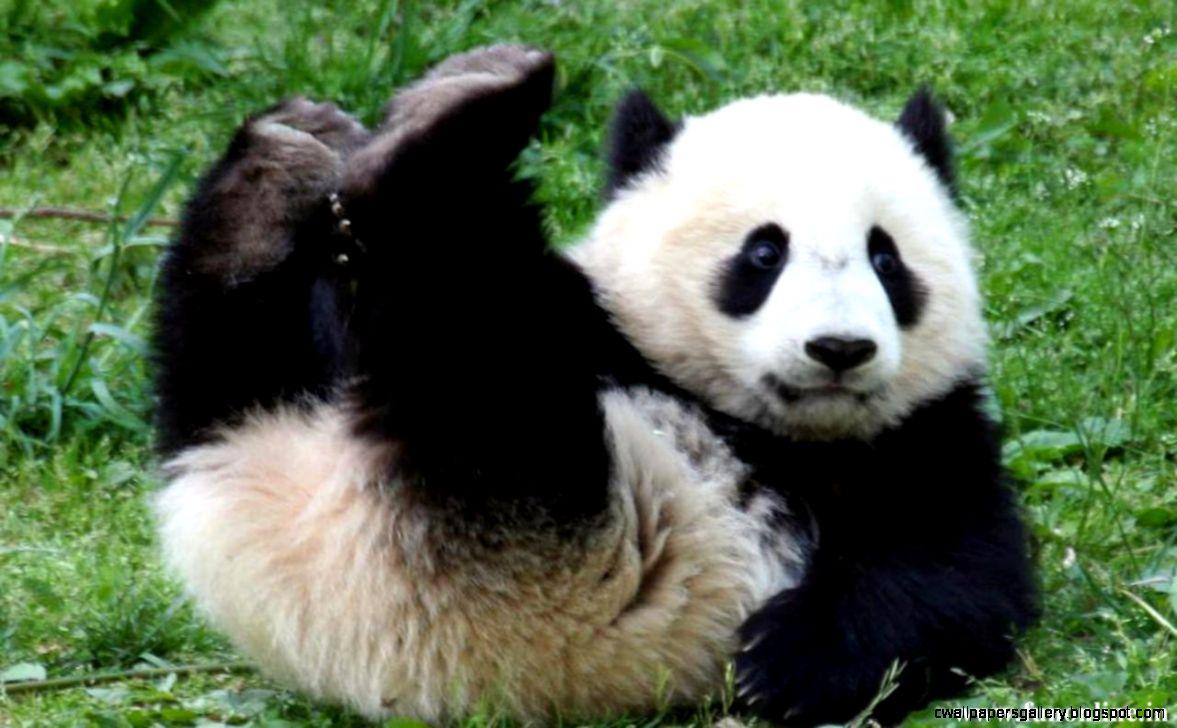 Cute Baby Panda Pics: Cute Baby Panda Playing