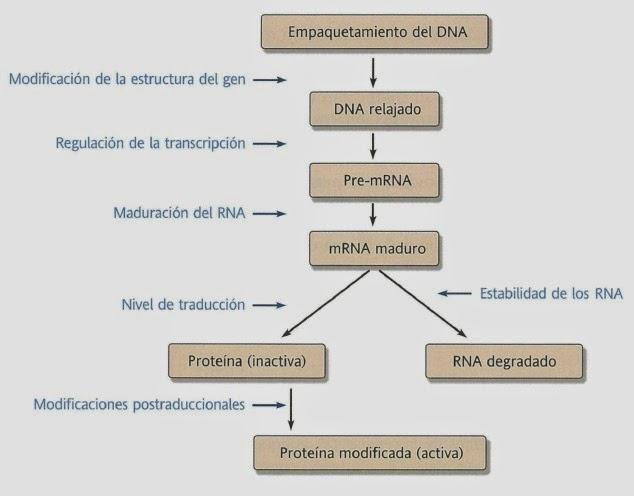 Apuntes De Bioquímica Regulación Genética