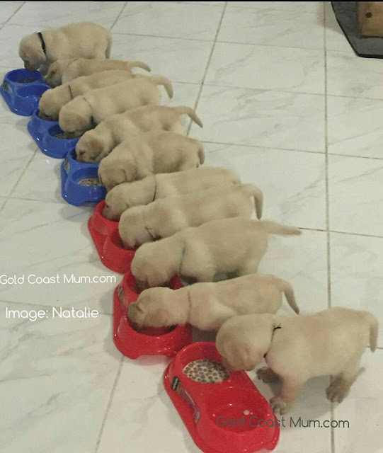 Cheeky puppies on Santa's naughty list, labrador puppies, goldcoastmum blog,christmas tree, dogs and christmas trees, 11 pups
