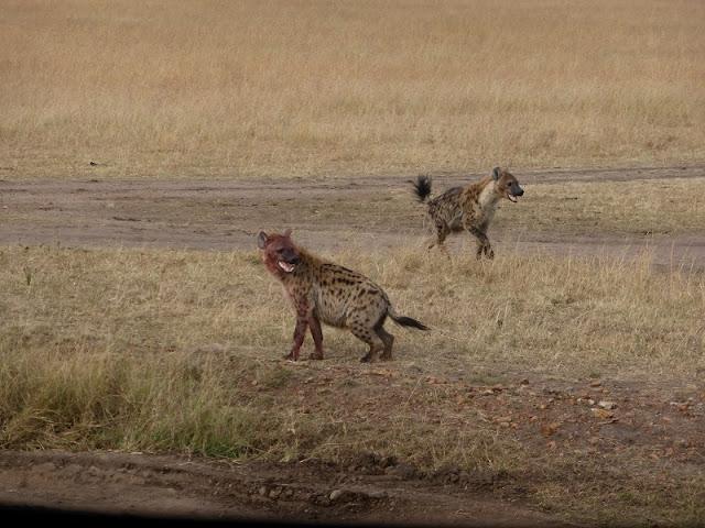 Hienas  en Masai Mara