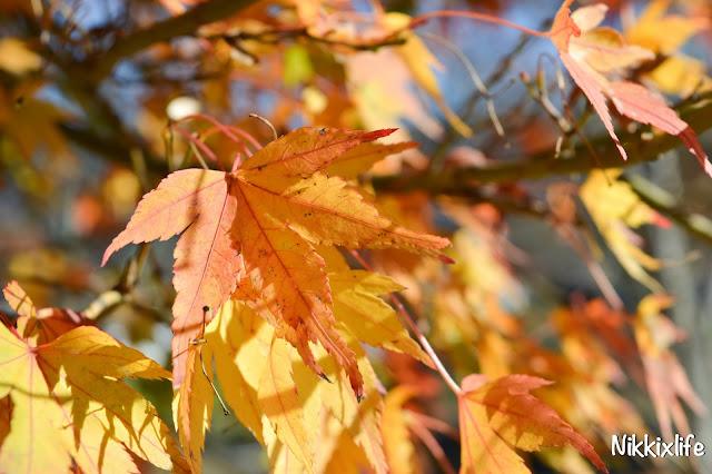 【日本。河口湖】紅葉回廊:觀賞紅葉和富士山的好地點! 16