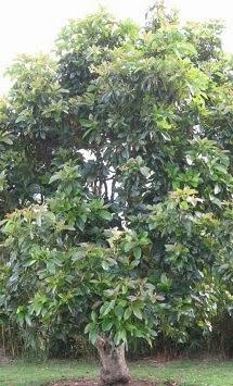 my avocado tree die gr ne investition ihr avocado baum ertr ge die in den himmel wachsen. Black Bedroom Furniture Sets. Home Design Ideas