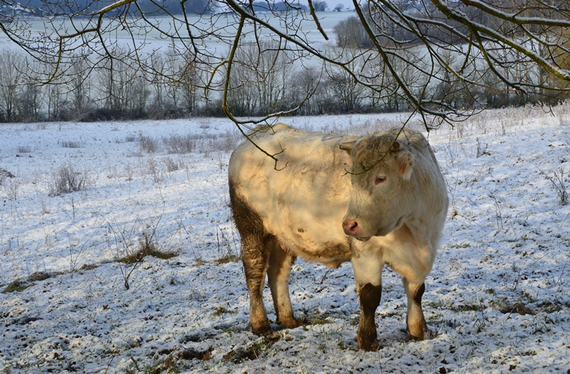 Neige Vache Champ Campagne Puisaye Yonne
