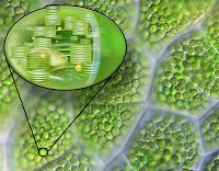 Bir yaprak üzerindeki yakınlaştırılmış kloroplast görüntüsünü ve yapısını gösteren resim