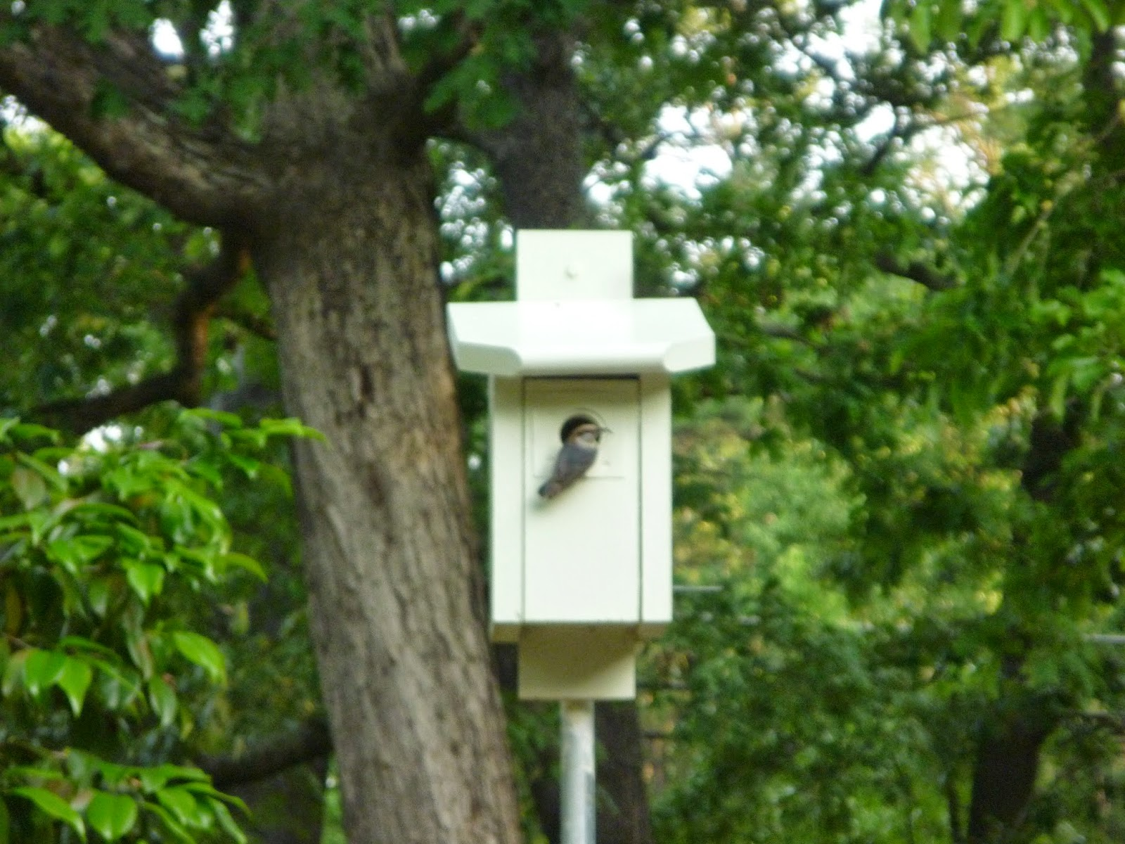 From Bluebirds to Turtles: A Brown-headed Nuthatch Nest - photo#50