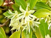 Star Anise (Bunga Lawang/Pekak)