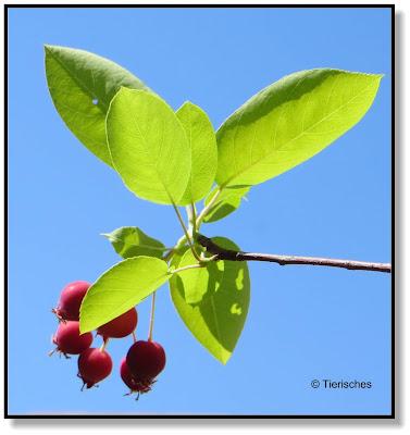 die kleinen Beeren schmecken sehr gut und haben viele Vitamine