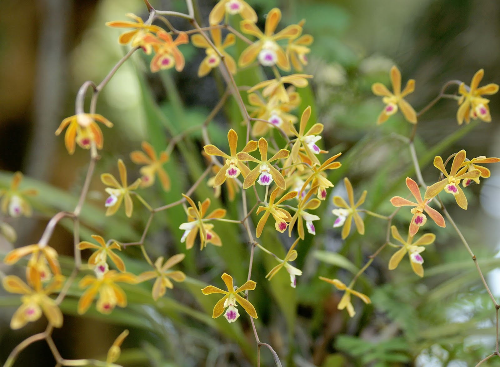 The Florida Native Orchid Blog
