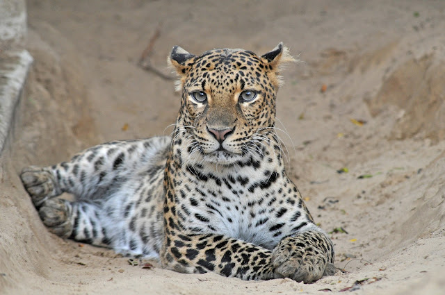 Evolutionary history and conservation significance of the Javan leopard