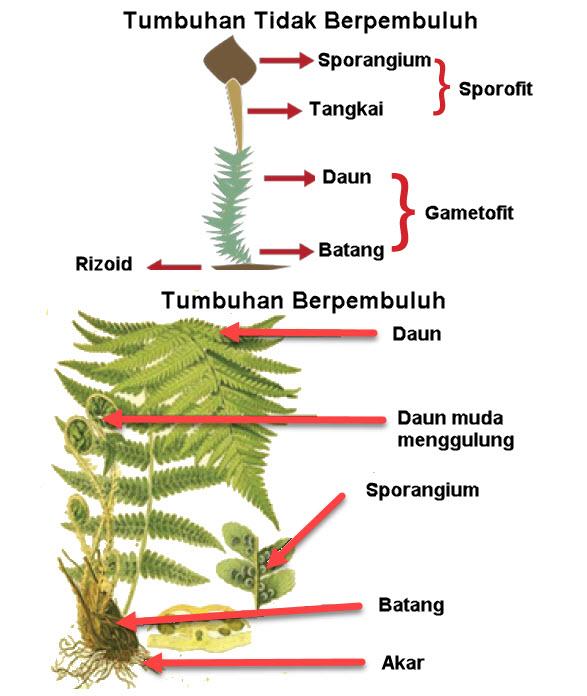 Tumbuhan Berpembuluh dan Tidak