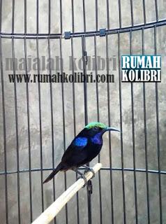 burung madu hitam