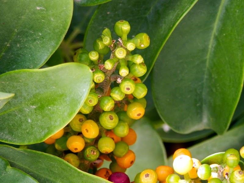 schefflera arboricola frutos