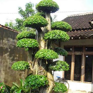 pohonberinginkorea